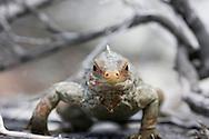 Close up frontal view of an endangered Bahaman Rock iguana in Sandy Cay Island, Bahamas.