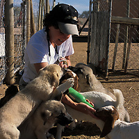 "Feeding young goats as young Puppies bond to their ""charge' between 8 to 16 weeks of age. CCF places puppies with the livestock they will grow to protect between that age period. When they are very young, though, they need their own safe place to escape in the stock yard so as not to be hurt by older protective livestock stock. Between 3 to 6 months of age the puppies often become playful with young stock and need corrective guidance.."