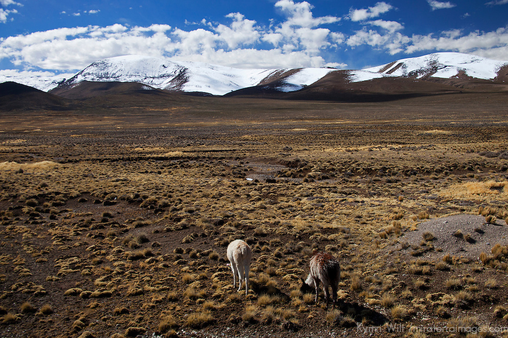 South America, Peru, Salinas and Aguaga Blanca National Reserve. Llamas of Peru.
