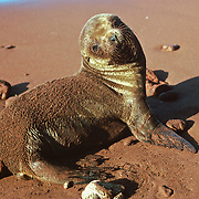 "Red sand coats the back of a Galápagos Sea Lion pup (Zalophus wollebaeki) on Rábida Island, Galapagos Islands, Ecuador, South America. This mammal in the Otariidae family breeds exclusively on the Galápagos Islands and in smaller numbers on Isla de la Plata, Ecuador. Being fairly social, and one of the most numerous species in the Galápagos archipelago, they are often spotted sun-bathing on sandy shores or rock groups or gliding gracefully through the surf. They have a loud ""bark"", playful nature, and graceful agility in water. Slightly smaller than their Californian relatives, Galápagos Sea Lions range from 150 to 250 cm in length and weigh between 50 to 400 kg, with the males averaging larger than females. Sea lions have external ear-like pinnae flaps which distinguish them from their close relative with whom they are often confused, the seal. When wet, sea lions are a shade of dark brown, but once dry, their color varies greatly. The females tend to be a lighter shade than the males and the pups a chestnut brown. In 1959, Ecuador declared 97% of the land area of the Galápagos Islands to be Galápagos National Park, which UNESCO registered as a World Heritage Site in 1978. Ecuador created the Galápagos Marine Reserve in 1998, which UNESCO appended in 2001."