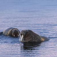 Walruses bathing at dusk, Prins Karls Forland, Svalbard