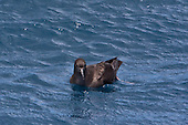 Sooty Shearwater Pictures - Photos