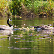 A family of Canada geese (Branta canadensis), two parents and three goslings, swim in the wetlands of the Washington Park Arboretum in Seattle, Washington. The typical Canada goose clutch size is five eggs, though it can range from two to twelve. The eggs hatch simultaneously so the parents can lead the goslings together away from the nest. Canada geese typically mate for life..