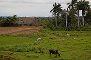 San Ramon area Farm on the north coast, Pinar del Rio, Cuba. There are cows and birds in the foreground and a barn and palm trees in the background.