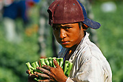 A Nahua indigenous boy holds in his hands Chinese vegetables. Many children must to leave the school to go out for working as laborers at agricultural fields. Culiacan, Mexico.