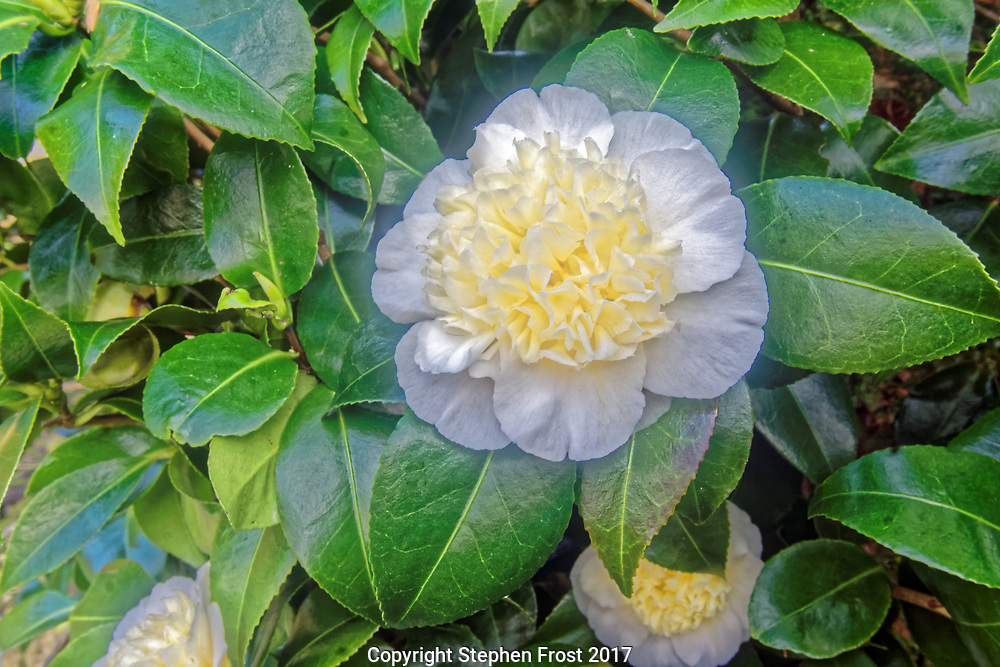 Camellia is a genus of flowering plants in the family Theaceae.  They are evergreen shrubs or small trees