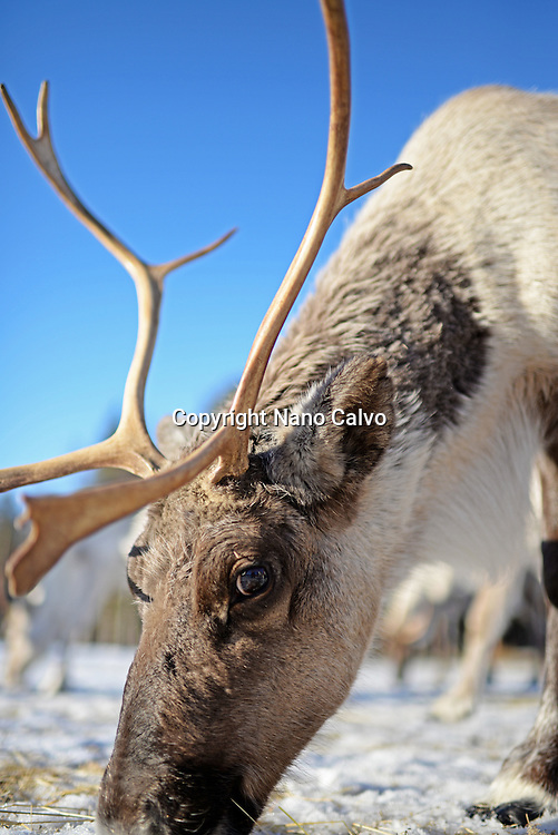 In the Reindeer farm of Tuula Airamo, a Sámi descendant, by Muttus Lake. Inari, Lapland, Finland