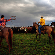 Cattle are rounded up early in the morning at the Bar B ranch near Albia, Iowa, in August, 2008.  Calves were roped and seperated from the herd for the bi-annual vaccinations, branding and the placement of growth stimulant implants.  The male calves were also castrated.  Owner Catherine Bay runs the operation with a herd of over 2,000 cattle.