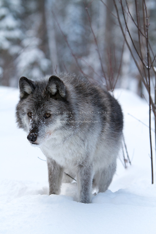 the importance of the wolf in the ecosystem of north america At that time, wolves probably ate the scraps of food left by humans  two  species of wolves live in north america — gray wolves (canis lupus) and red   gray wolves are important members of a food chain because they help to control  the.