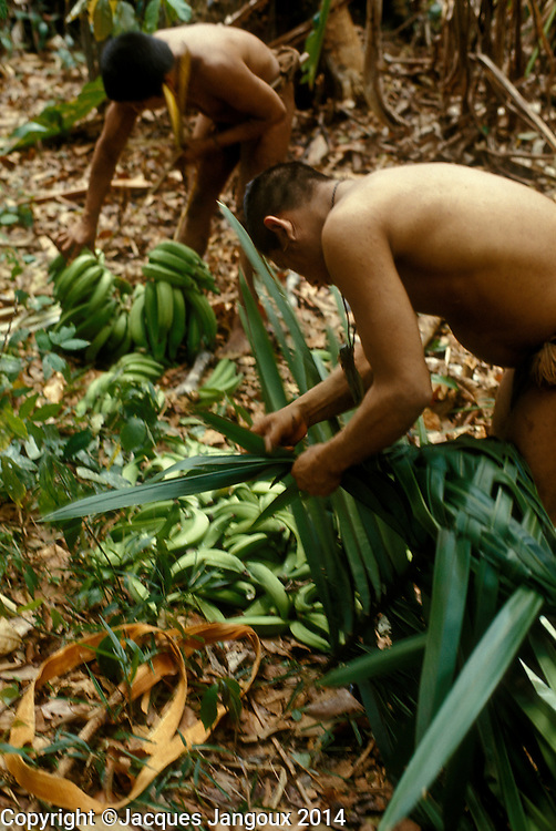 Venezuelan Hoti Indian men harvesting bananas from a stand of apparently feral bananas, of various varieties, growing together with the similar-looking false banana, Phenakospermum sp.; one of them is making a palm leaf basket to carry them. Guiana Highlands, Venezuela.