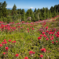 OR01676-00...OREGON - Brightly colored paintbrush and heather in a meadow along the McNeil Point Trail in the Mount Hood Wilderness area with Mount Adams in the distance.