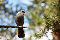 We stopped for lunch at a picnic site on the South Rim trail and were almost immediately spotted by several of these curious Jays.  They definitely have no fear of people...<br /> <br /> &copy;2009, Sean Phillips<br /> <br /> http://www.Sean-Phillips.com