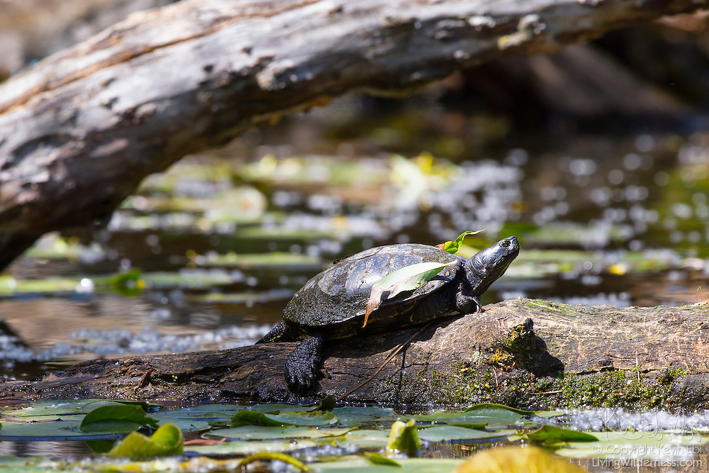A painted turtle (Chrysemys picta) suns itself on a log deep in the wetlands of the Washington Park Aboretum in Seattle, Washington.