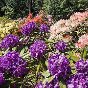 Purple, white, yellow and orange hybrid rhododendron flowers bloom in Meerkerk Gardens, on Whidbey Island, in the state of Washington, USA. To see the park's blossoms at their spectacular peak, visit around late April or early May. Getting there: 2 miles south of Greenbank, turn east at the corner of Highway 525 and Resort Road, and go to 3531 Meerkerk Lane. (Photo was taken May 22, 2015.)