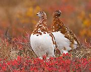 Alaska. Willow Ptarmigan (Lagopus lagopus) pair in fall color, Denali National Park.