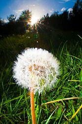 Common Dandelion, araxacum officinale, flowering in the Scottish sunlight in a garden in Falkirk...