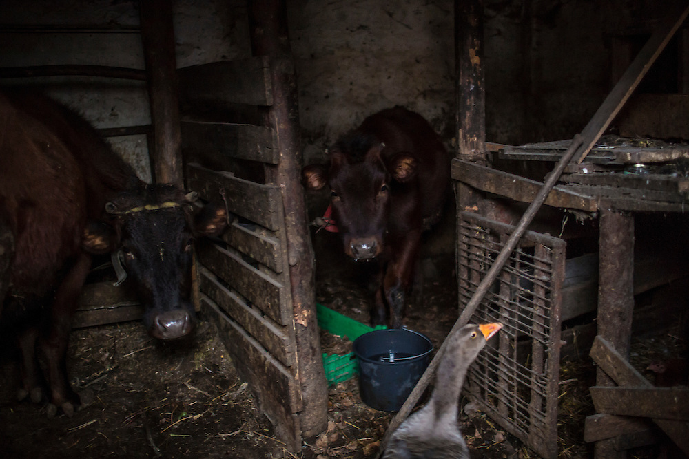 PIKSY, UKRAINE - NOVEMBER 19, 2014: The two cows belonging to Yuri Siderov and his wife Lyubov in Pisky, Ukraine. The village of Pisky is the scene of much of the front-line fighting over the Donetsk airport, but Siderov and his wife have stayed to care for the cows. CREDIT: Brendan Hoffman for The New York Times