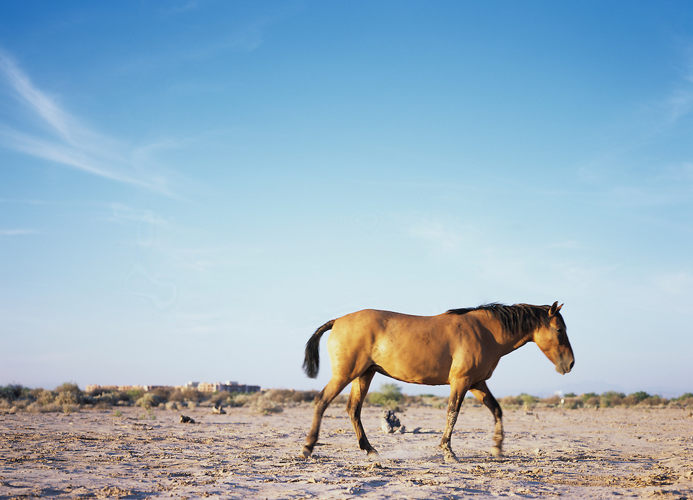 USA, Arizona, Phoenix, Wild mustangs grazing in Sonora Desert on the Gila River Indian Reservation