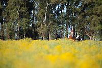 CABALLOS EN UN CAMPO DE FLORES AMARILLAS, ALREDEDORES DE MERCEDES, PROVINCIA DE BUENOS AIRES, ARGENTINA (PHOTO BY MARCO GUOLI)