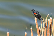 A red-winged blackbird (Agelaius phoeniceus) rests on cattails at the edge of the Sage Lakes in the Columbia National Wildlife Refuge near Othello, Washington.