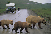 Alaska. Denali NP. Brown Bear ( Grizzly ) and cubs crossing park road.