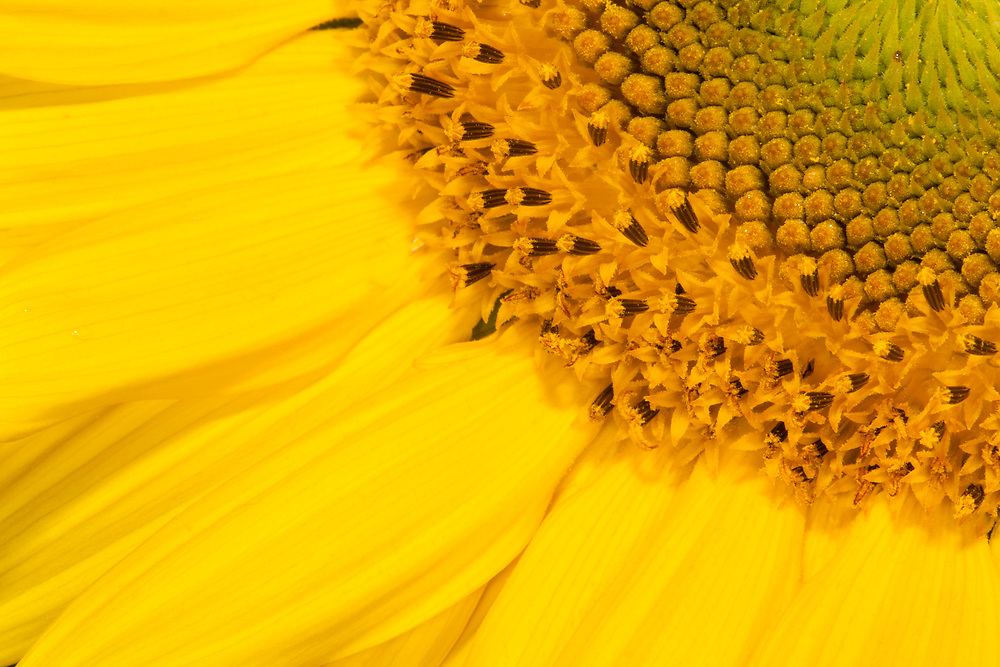 High-key closeup of sunflower in bloom (Helianthus spp.)
