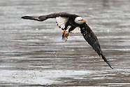 Bald Eagles Fishing