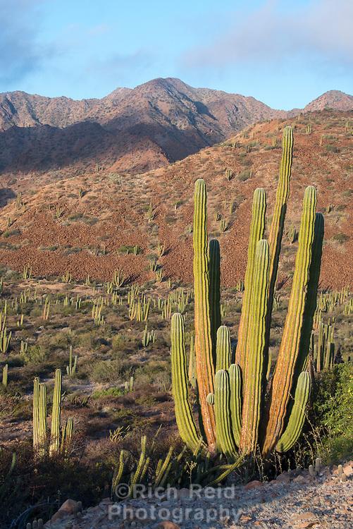 Sunrise on Cardon Cactus on Isla San Esteban in the Gulf of California, Mexico.
