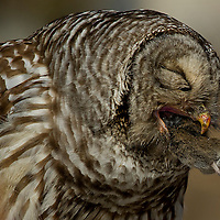 A barred owl works on swallowing a small rodent shortly after catching it along the Deschutes River. Barred owls are an opportunistic hunter and can sometimes be seen at dusk waiting high up on a perch to swoop down on their prey and usually swallow smaller prey whole, but bigger catches are often carried back to a perch before being consumed.