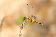 Amanda's Pennant<br /> Celithemis amanda<br /> young male<br /> Gus Engeling Wildlife Management Area<br /> Anderson Co., Texas<br /> 17 June 2011
