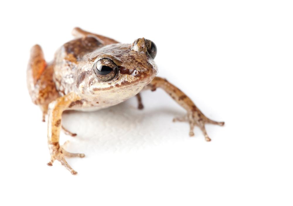 Mozart's Frog, Eleutherodactylus amadeus, a Critically Endangered species on the Massif de la Hotte, Haiti