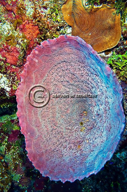 Pink Vase Sponge, Niphates digitalis, Grand Cayman