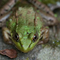 A frog sitting at the edge of a pond at the Coastal Maine Botanical Gardens.