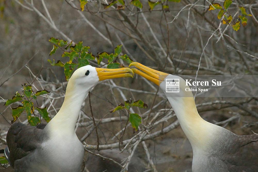 Elaborate courtship dance of Waved Albatros, Galapagos Islands, Equador