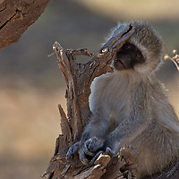 A baby vervet monkey chews on a branch while watching the camera.