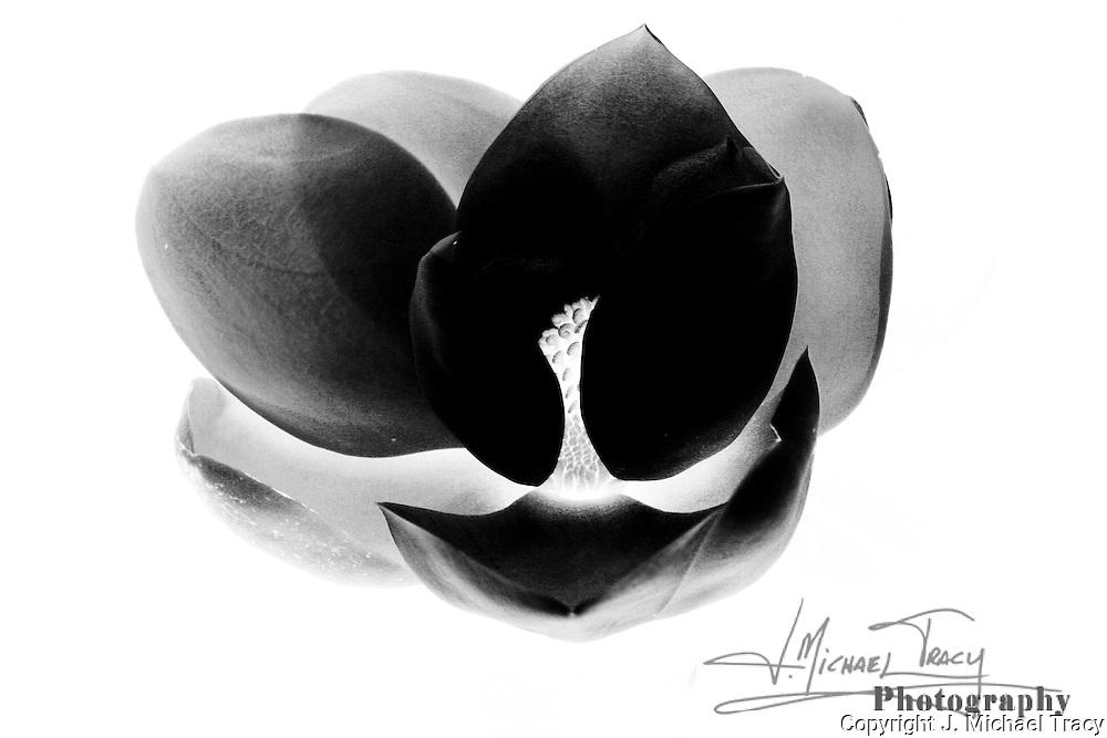 Inverted single magnolia blossom on a white background.