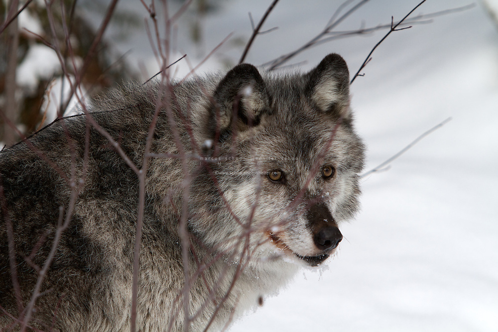 the importance of the wolf in the ecosystem of north america Gray wolf conservation and management they have few competitors and play a prominent role in any ecosystem they inhabit throughout north america.