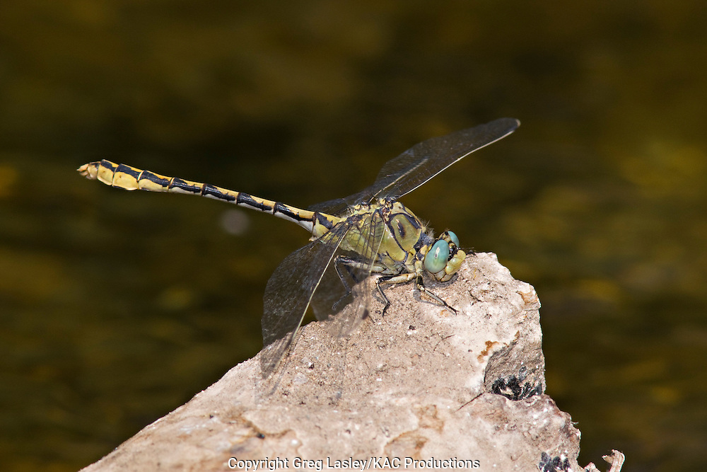 Pale Snaketail.Ophiogomphus severus.male.South Fork of John Day River,.south of Dayville,.Grant Co., Oregon.28 July 2008 dragonfly