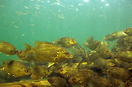 School of Rock Bass<br />