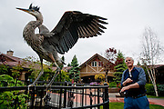 Gary Ghramm takes a step back from a blue heron extending its wings in the courtyard of the Bee Hive Homes in Coeur d'Alene on Friday. Normally a skittish bird, this particular heron took residence at the facility nearly a week ago and residents have been able to observe it up close and personal.