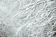 Dark winter branches hold up a recent snowfall near Terrace, British Columbia.