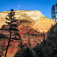Silhouetted Spruce and Fir against afternoon light on Navajo Sandstone, along the Secret Canyon trail in Zion National Park
