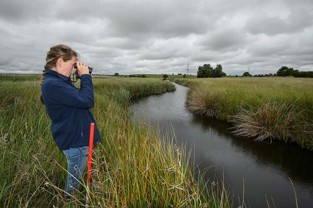 Water Vole (Arvicola amphibius), Kent, UK. Louise Allen of Kent Wildlife Trust Water Vole Recovery Project surveys for water vole signs. North Kent Marshes, UK.