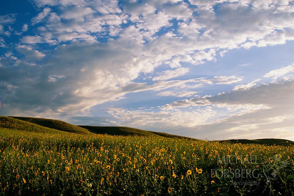 Sunflowers over the hills, Nebraska Sandhills.