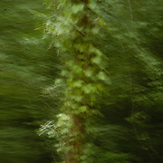 blurry tree pictures in the woods at carsac - <br /> Photo must be credited to &quot;Jacques-Jean Tiziou / www.jjtiziou.net&quot; adjacent to the image. Online credits should link to www.jjtiziou.net. Photo may only be used as permitted by the photographer.