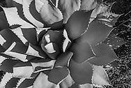 Agave, Desert Garden, The Huntington Library, Art Collections, and Botanical Gardens, California