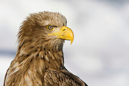 Tight shot of White-tailed eagle on pack ice.