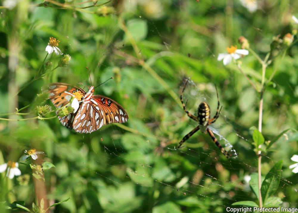 Gulf Fritillary Butterfly feeding dangerously close to a Golden Garden Spider