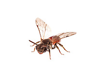 Sphecodes sp of bee, female, South Carolina, USA