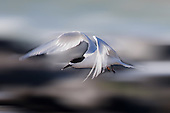 White-fronted Tern Pictures - Photos